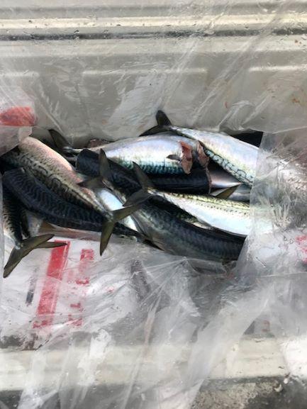 釣り釣りサバ